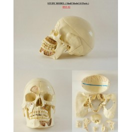 https://www.dentalmart.in/1382-thickbox_default/study-model-skull-model.jpg
